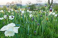 Jardin de la Ferme du Mont des R&eacute;collets: prairie plant&eacute;es de plantes bulbeuses avec<br /> narcisses blanc 'Mount Hood'<br /> narcisses cyclamineus 'Jack Snipe'(blanc &agrave; coeur jaune, plus petit), narcisses triandus'Thalia'(blanc tardif),<br /> fritillaires Uva-vulpis // France, garden of Ferme du Mont des R&eacute;collets, prairie with bulbous plants including narcissus, Fritillaria uva-vulpis