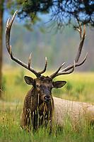 Rocky Mountain Elk bull.  Northern Rockies, fall.