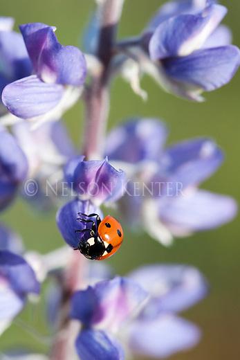 A Ladybug on a Lupine Flowers