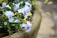 Gorgeous and delicate Pansy flowers in a stone planter - Free Stock Photo.