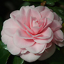 Camellia japonica 'Incarnata'. Brought from China in 1806 by Capt. James Pendergrass of the East Indiaman Hope for the ship's principal owner Sir Abraham Hume of Wormley Bury in Hertfordshire, as a gift for his wife, Lady Amelia Hume. The synonym 'Lady Hume's Blush' is commonly used for this variety. (From catalogue, Camellias in the Conservatory Festival 2011, Chiswick House and Gardens).