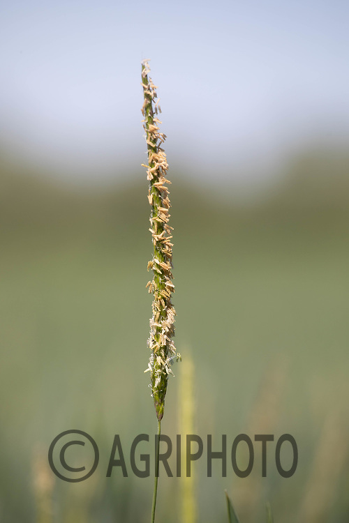 21.5.2020 Blackgrass in Winter wheat<br /> ©Tim Scrivener Photographer 07850 303986<br />      ....Covering Agriculture In The UK....