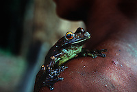 Pet frog on shoulder of Amerindian, Guyana.