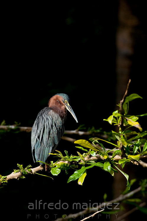 Green heron (Butorides virescen) perched on plant branch in Isla Pacheca forest. Las Perlas Archipelago, Panama province, Panama, Central America.