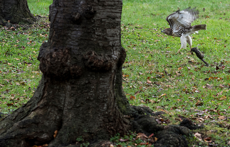 UNITED STATES - NOVEMBER 13: A juvenile red-tailed hawk flies off with a squirrel breakfast in Upper Senate Park near the Capitol on Monday morning, Nov. 13, 2017. (Photo By Bill Clark/CQ Roll Call)
