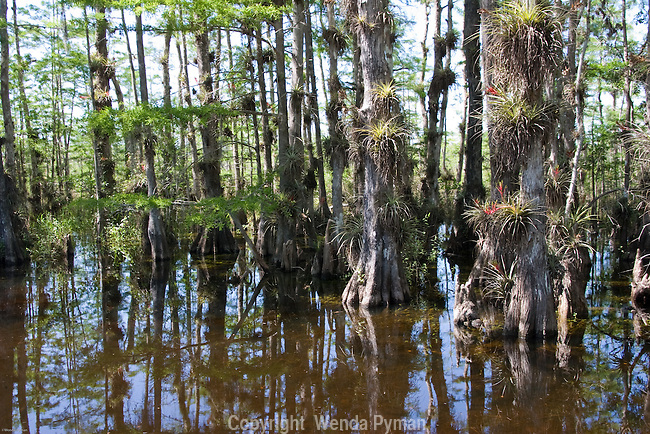 The Loop Trail offers many opportunities to see epiphytes on the cypress strands.