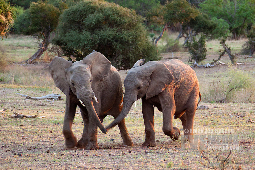 African Elephant (Loxodonta africana). Vulnerable species...Two immature elephants touching each other's trunks after playing...Mashatu Game Reserve..Tuli block, Botswana..November 2010.