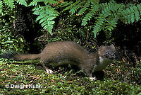 MA28-120z  Short-Tailed Weasel - ermine in forest in brown summer coat - Mustela erminea