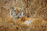 Bengal tiger resting on tall dry grass, India