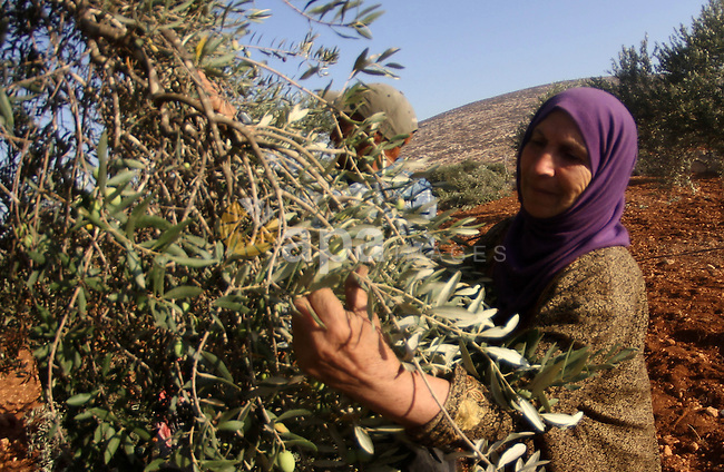 A Palestinian woman harvests olives during harvest season in the West bank city of Nablus on Oct. 9, 2014. Farmers are harvesting their olives from mid-October until the start of November this year. Photo by Nedal Eshtayah