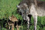Timber or Grey Wolf (Canis lupus) - captive, female and young 7 week old cub, in long grass of meadow, nuturing, caring.USA....