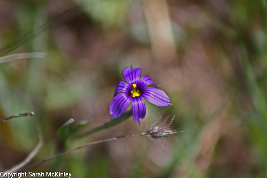 The blue-purple blossom of the California Blue-eyed Grass growsing along Muir Mill Road in Willits in Mendocino County in Northern California.