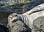The Hawaiian monk seal is one of the most endangered species on the planet - only about 1,200 are estimated to be in existence. <br /> Adults can weigh up to about 450 pounds.