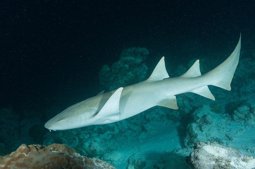 Alimatha Island, Felidhoo Atoll, Maldives; a Tawny Nurse Shark (Nebris ferrungineus) swimming over the rocky reef and sandy bottom