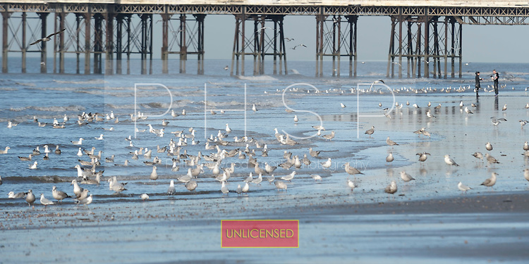 16/02/2011 Blackpool Lancashire UK.Seagulls gather at the waters edge....© Phill Heywood.