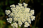 Queen Anne's Lace; Wild Carrot (Duncus carota) plant having lacy ,flat-topped clusters of tiny cream-white flowers,with one dark reddish-brown floret usually at center of umbel.
