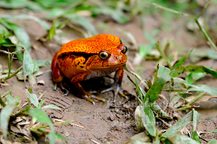 Tomato frogs are any of the four species of genus Dyscophus (family Microhylidae): D. antongilii, D. insularis, or D. guineti.<br /> Three of the four species of tomato frogs are native to Madagascar. The common name comes from D. antongilii's bright red color. When threatened, a tomato frog puffs up its body. If a predator grabs a tomato frog in its mouth, the frog's skin secretes a thick substance that gums up the predator's eyes and mouth, causing the predator to release the frog to free up its eyes. The gummy substance contains a toxin that occasionally causes allergic reactions in humans. The allergic reaction will not kill a human and the frog secretes it only when frightened. Ambanja - Northern Madagascar.