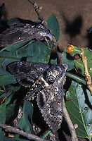 Endangered native Aiea hawk moth (Manduca blackburni), originally found on all islands