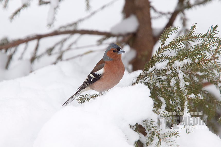 Chaffinch in the snow.