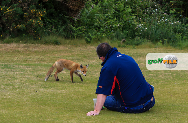 A fox cub looking for food from Fran Caffrey (Golffile) during Round 3 of the East of Ireland Amateur Open Championship at Co. Louth Golf Club in Baltray on Sunday 4th June 2017.<br /> Photo: Golffile / Thos Caffrey.<br /> <br /> All photo usage must carry mandatory copyright credit     (&copy; Golffile | Thos Caffrey)