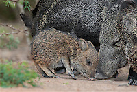 650520183 a wild baby javelina dicolytes tajacu interacts with its mother on beto gutierrez ranch hidalgo county texas united states