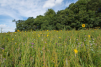 Field corner planted with conservation seed mix - Norfolk, August