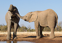 A juvenile elephant tries to steal a drink from a friend.