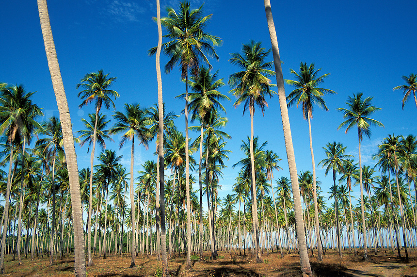 Coconut plantation between Sao Miguel dos Milagres e Barra do Camaragibe, Alagoas, Brazil