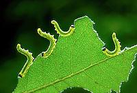 Birch Sawfly larvae - Croesus septentrionlis