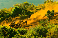 Maasai tribesmen herding their cattle down a steep hill through the dust, Ngorongoro Crater, Ngorongoro Conservation Area, Tanzania
