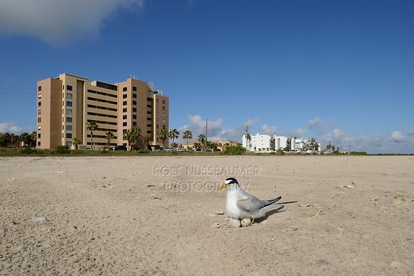 Least Tern (Sterna antillarum), adult sitting on nest on beach, South Padre Island, Texas, USA