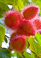 Rambutan (Nephelium lappaceum) is common in the Pacific, but can be an exoctic treat for visitors.