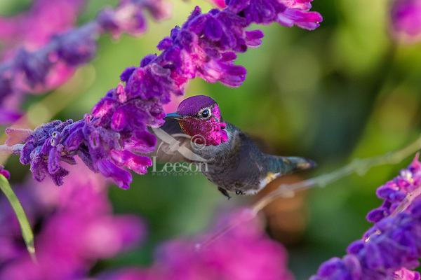 Male Anna's Hummingbird (Calypte anna) feeding on garden flower showing iridescent gorget feathers.  California.  Fall.