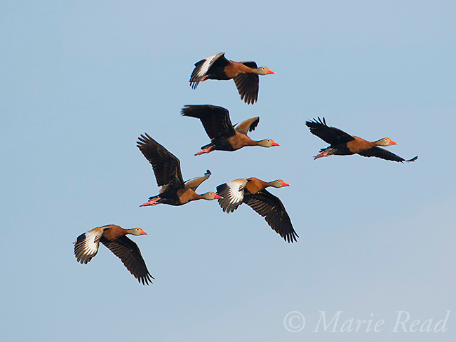 Black-bellied Whistling Ducks (Dendrocygna autumnalis) flock in flight, Venice, Florida, USA
