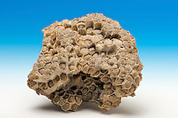 Fossil coral (Columnaria sp.), an extinct colonial reef-building rugose coral. Late Ordovician Period.