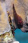 Acyrtus artius, Papillate clingfish, Bonaire