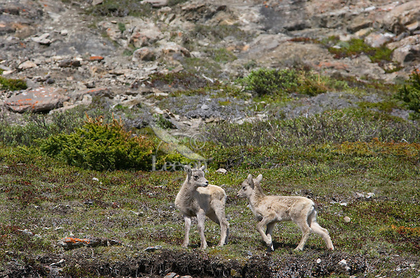 Bighorn Sheep or Mountain Sheep (Ovis canadensis).  Northern Rockies.  June.