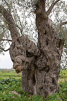 Olivenbaum, Oliven-Baum, Olive, Ölbaum, uralter Baum mit Baumhöhlen auf Sizilien, Italien, Olea europaea, Olive, Olivier