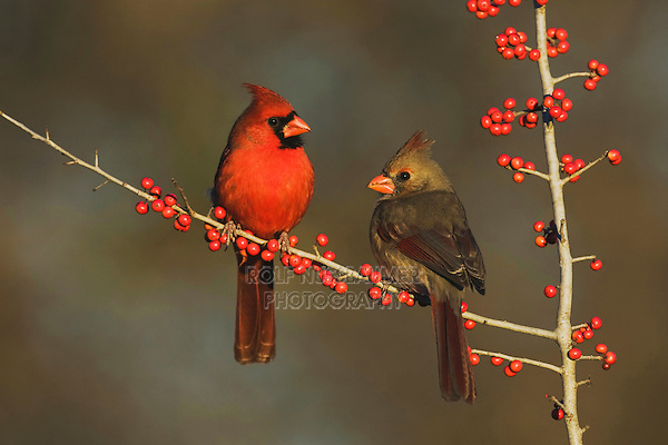 Northern Cardinal (Cardinalis cardinalis), pair eating Possum Haw Holly (Ilex decidua) berries, Bandera, Hill Country, Texas, USA