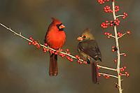 Northern Cardinal (Cardinalis cardinalis), pair eating Possum Haw Holly (Ilex decidua) berries, Bandera, Hill Country, Texas, USA