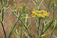 Fenchel, Foeniculum vulgare, Fennel