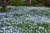 Ipheion uniflorum, starflower, flowering in lawn; Winterthur Garden