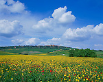 Tuscany, Italy, <br /> Field of mustard and poppies among the rolling hills and farms near hill town of Pienza  in the Val d'Orcia