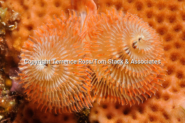 Christmas tree worm (Spirobranchus giganteus) in coral head. Isla Mujeres, Mex.