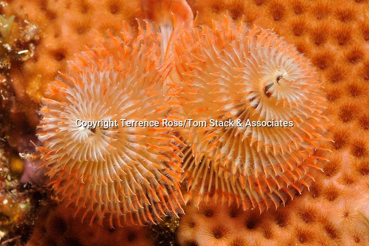 Christmas tree worm (Spirobranchus giganteus) in coral head. Isla Mujeres, Mex.