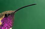 Head of a male Lucifer Hummingbird (Calothorax lucifer), Arizona, USA.