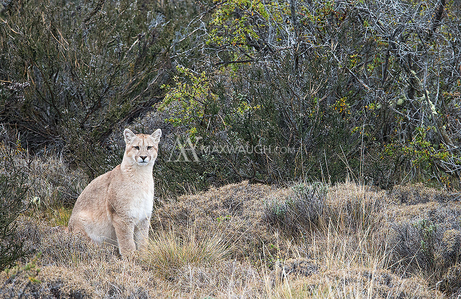 One of the puma families we saw included a mother with two seven-month-old cubs.