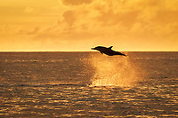 spinner dolphin, Stenella longirostris, jumping, leaping, at sunset, silhouette, Chichi-jima, Bonin Islands, Ogasawara Islands, UNESCO World Heritage Site, Japan, Pacific Ocean