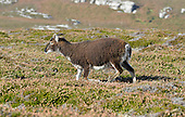 Soay Sheep - Ovis aries, Lundy Island