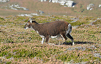 Soay Sheep - Ovis aries, Lundy Island